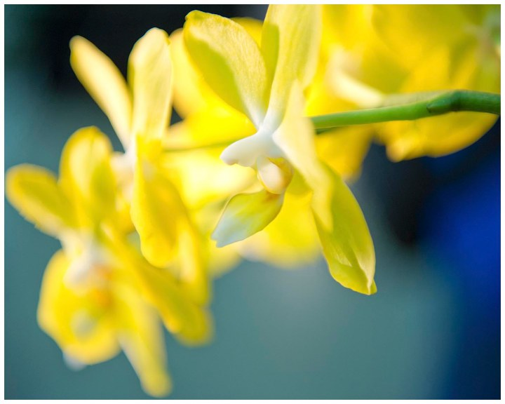 Yellow Orchids on Blue Background