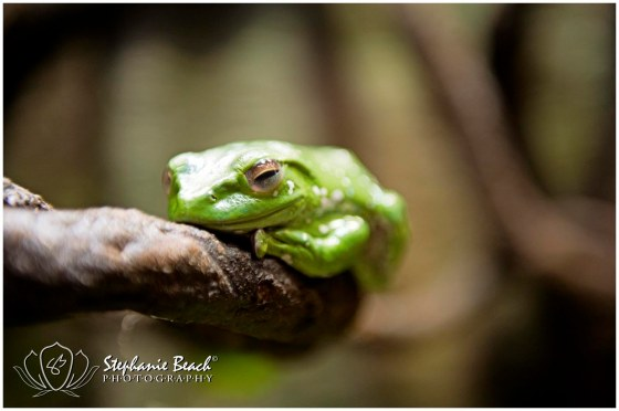 Museum of Nature Tree Frog