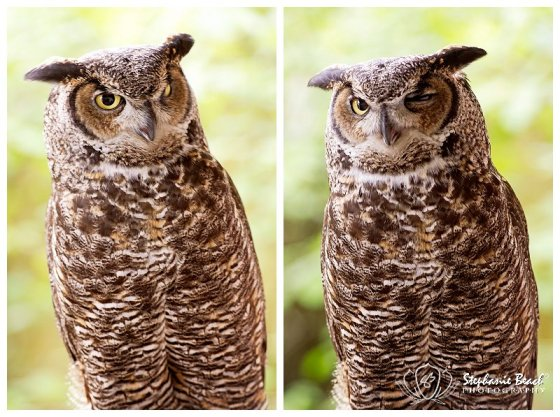 North American Great Horned Owl