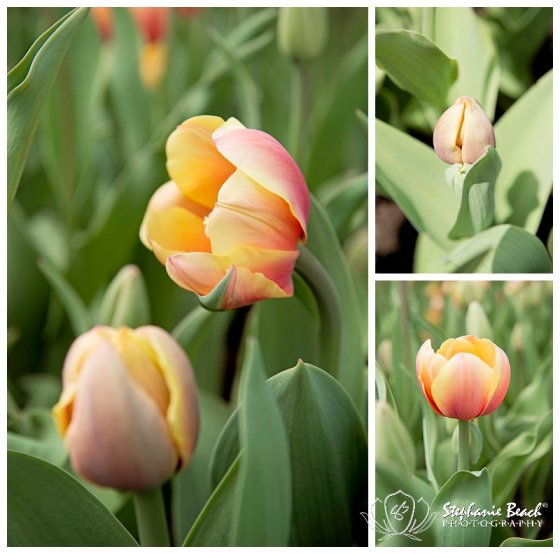 Tulip Festival 2014 Stephanie Beach Photography