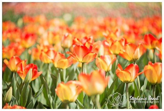 Tulip Festival 2014 Stephanie Beach Photography