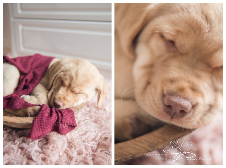 Puppy-Newborn-Photography-Ottawa-Stephanie-Beach-Photography